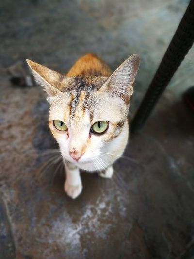 Kitten One Animal Portrait Looking At Camera Animal Pets Animal Themes Domestic Cat Animal Wildlife No People Close-up Outdoors Domestic Animals Nature Mix Yourself A Good Time The Week On EyeEm Cat Lovers Thai Cat Pet Portraits