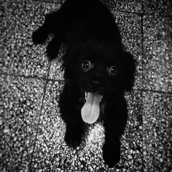 Dog Black Togue Unique Puppy Fun Toby  Nickbateman