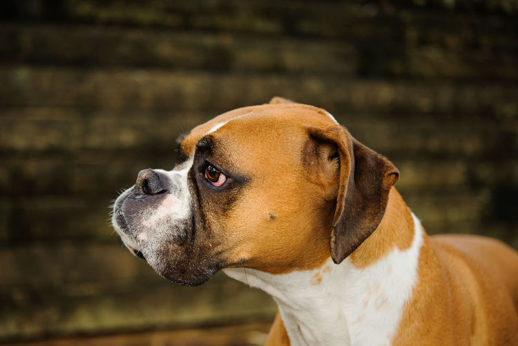 Boxer dog Animal Boxer, Canine Day Dog Domestic Animals No People Outdoors Pets Portrait