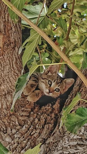 Animals Kittenlife Treetastic Lovecats Miss Copperkitten Colour Of Life Cats And Dogs Country Life Outdoors Beauty In Nature Pure Love Eyeemphoto Relaxation Outdoors Nature Duncan, Arizona, United States Feline Close-up Animal Themes Domestic Animals Resting The Week On EyeEm