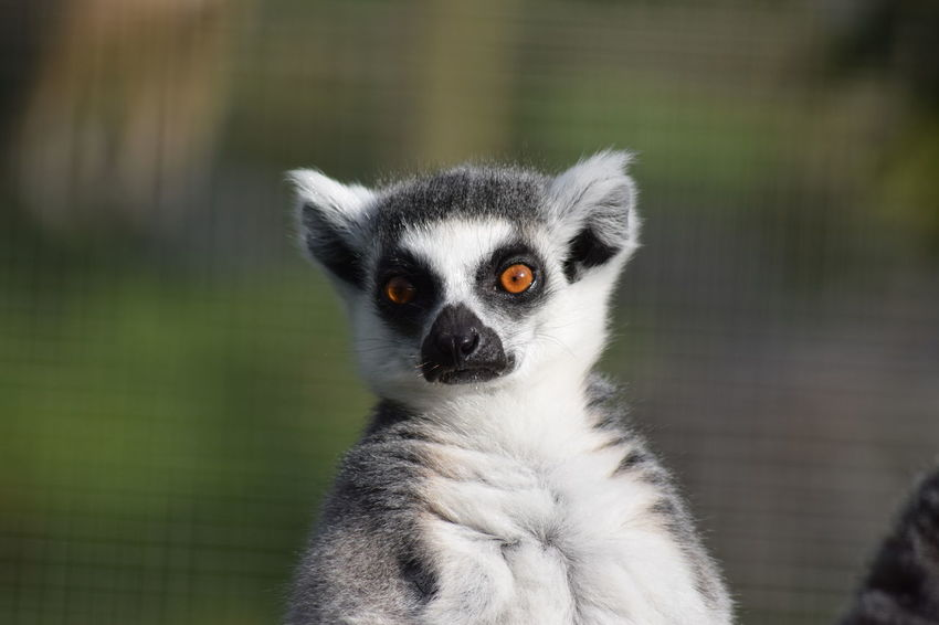 One Animal Animal Themes Animals In The Wild Wildlife Close-up Focus On Foreground Lemur Animal Head  Looking At Camera Zoology Outdoors Zoo Whisker Looking Animal Hair Animal Nose No People Animal Behavior