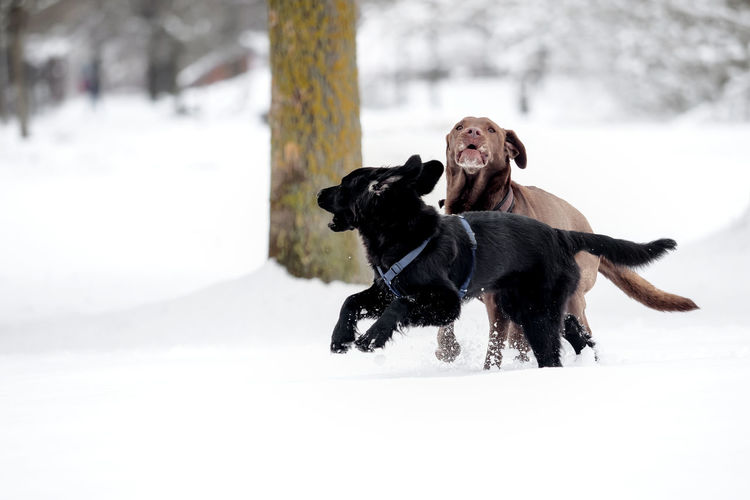A labrador and a puppy are playing in the snow Bereed Black Breed Cold Cute Dog Dogs Domestic Family Friend Happy Labrador Labrador Retriever Mammal Obedient Dog Outdoor Pet Playful Playing Puppy Purebred Retriever Season  Snow Two Dogs White Winter Canine Pets Domestic Animals Vertebrate Animal Themes Animal Cold Temperature One Animal Running Nature Day Motion Outdoors Snowing