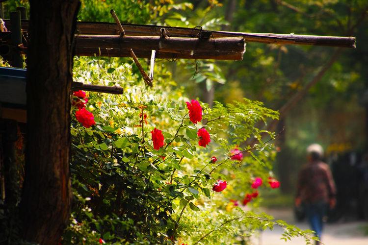 老松新槐底,短柱长檐外,今春花正好,朵朵向人开。 rose Plant Freshness Flower Flowering Plant Outdoors Roses People Walking