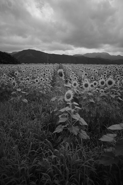 Cross road. EyeEm Nature Lover Flowers Sunflower Fukui Japan Canon5Dmk3 CarlZeiss Distagon Blackandwhite Monochrome Clouds And Sky