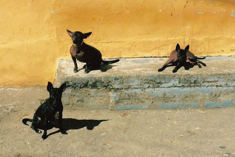 Peruvian Inka Dog Peruvian Dog hairless dog