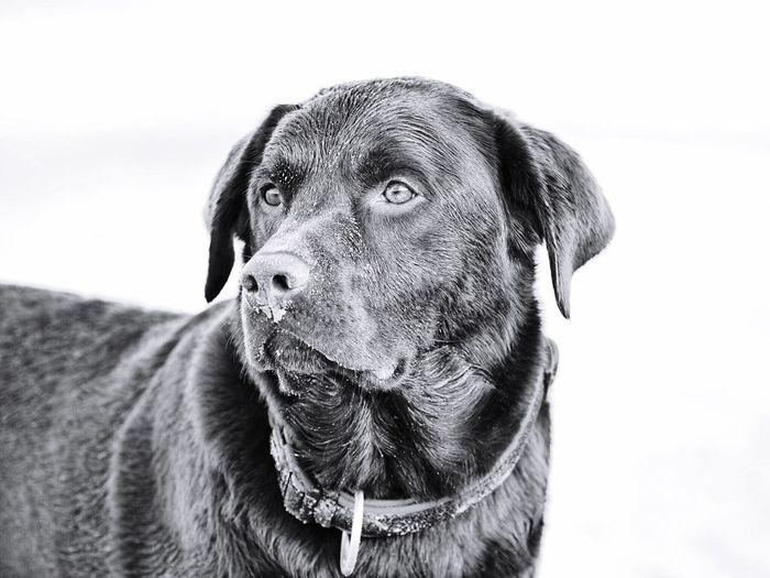 Labrador One Animal Animal Themes Animal Dog Vertebrate Pets No People Looking Portrait