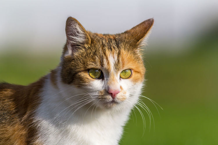 my sweet cat ;-) EyeEmNewHere Animal Themes Blurred Background Close-up Day Domestic Animals Domestic Cat Feline Looking At Camera Lucky Cat Mammal No People One Animal Outdoors Pets Portrait Red And White The Portraitist - 2018 EyeEm Awards