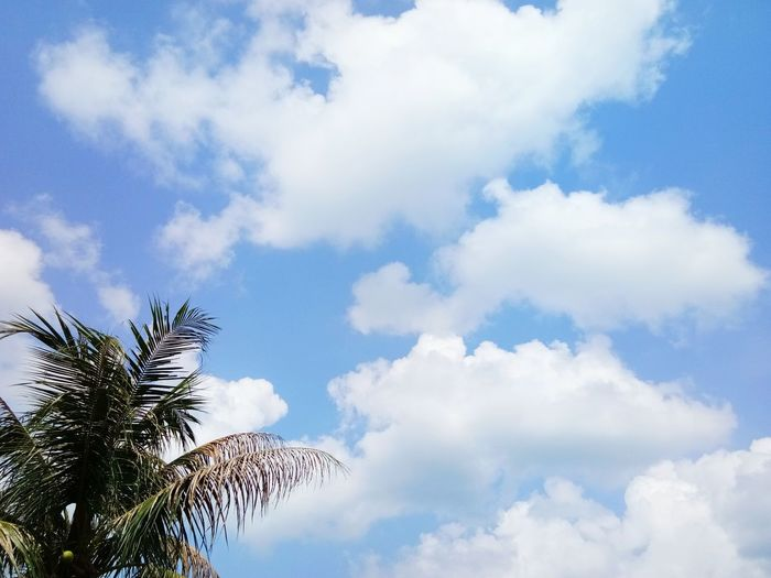Tree Blue Palm Tree Sky Cloud - Sky Sky Only Cumulus Cloud Cumulus Cloud Treetop Growing Meteorology Heaven Cloudscape Tranquil Scene Plant Life Tranquility