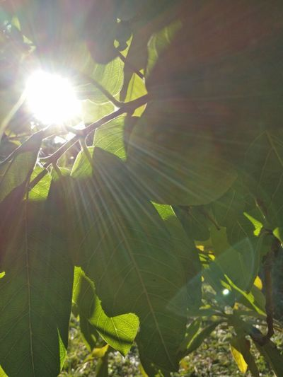 Sun from tree view Tree Leaves Sun Tree View Sydney tree sydney Sun Sydney leaves sydney