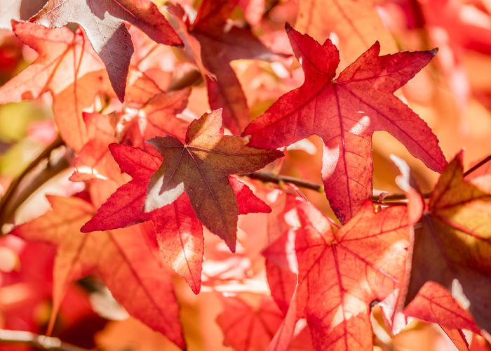 Leaf Plant Part Autumn Change Close-up Maple Leaf Beauty In Nature No People Red Leaves Plant Maple Tree Nature Focus On Foreground Tree Day Orange Color Leaf Vein Branch Outdoors Natural Condition Fall