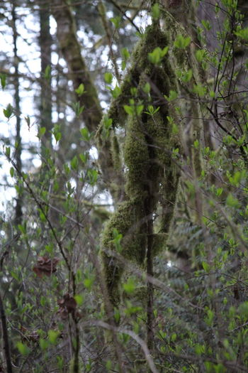 Moss & Lichen Pacific Northwest  Pacific Northwest Beauty Beauty In Nature Branch Close-up Day Focus On Foreground Forest Green Color Growth Low Angle View Moss Nature No People Outdoors Plant Tree
