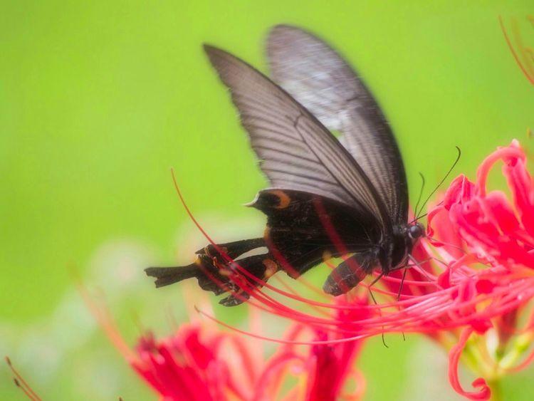 ふわふわo-o- ひらひらo-o- アゲハ蝶 彼岸花 Butterfly Flower Nature Beauty In Nature EyeEm Nature Lover Mushroom Green Nature From My Point Of View EyeEm Best Shots Flower Collection 日だまり