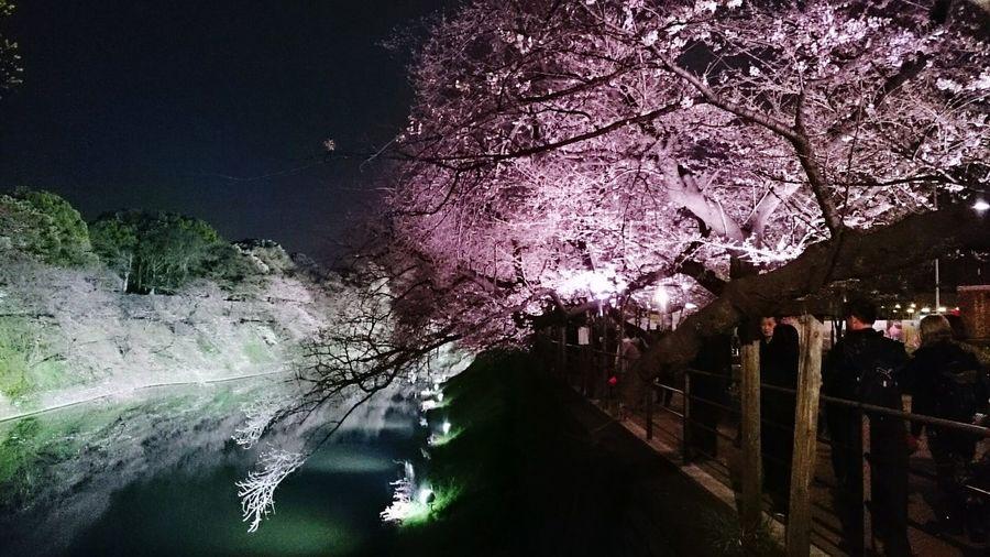 Cherry Blossoms 桜 サクラ Sakura2016 Sakura 千鳥ヶ淵