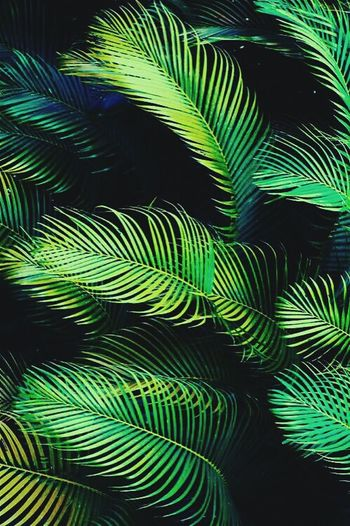 Green Color Frond Leaf Nature No People Palm Tree Fern Outdoors Growth Beauty In Nature Close-up Tree Complexity Day Black Background Sky Peacock Feather