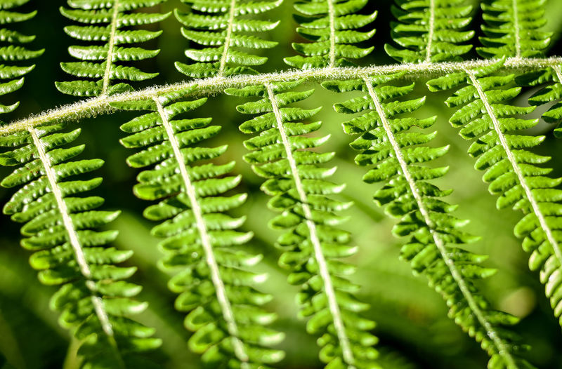 Green fern leaves in natural rain forest. Beautiful fern leaves background in morning sunlight. Selective focus. Bright Beauty Beauty In Nature Botanical Close-up Environment Ferns Foliage Forest Freshness Green Color Growth Humid Climate Jungle Trekking Leaflets Nature Outdoors Park Plant Rain Forest Spores On Fern Springtime Stems Tropical Plants Wild