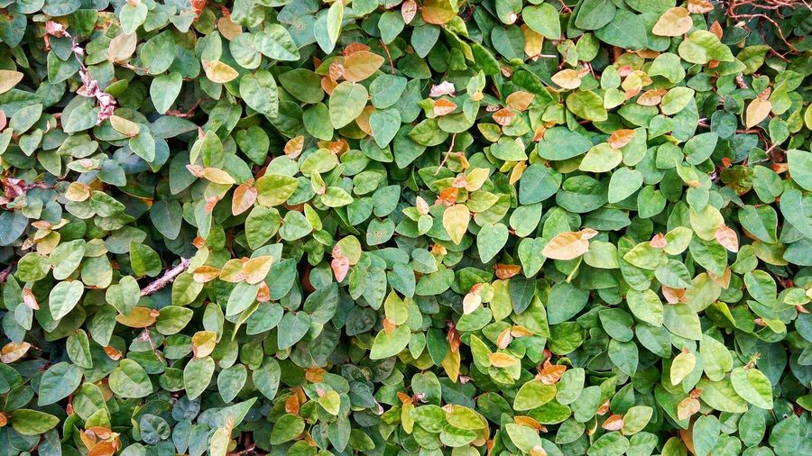 Jolly Green foliage background with details on the leaves. Bacground Background Texture Backgrounds Beauty In Nature Detail Foliage Garden Gardening Green Ground Growth Layer Leaf Carpet Nature Nature Pattern Pattern, Texture, Shape And Form Rafael Vilalta Rafaevilalta Sheet Surface Texture Texture, Pattern, Material, Textured, Surface, Detail, Background, Wall, Solid, Layer, Shape, Sheet, Decorative, Floor, Cover, Board, Green, Garden, Plant, Foliage, Spring, Fresh, Nature, Leaf, Summer, Natural, Forest, Grass, Park, Beautiful, Environment, Textured  Textures And Surfaces