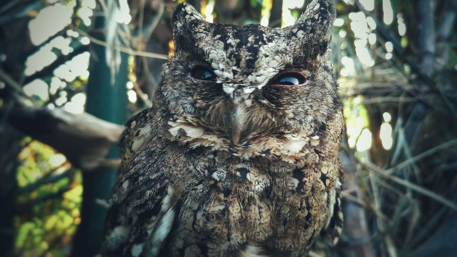 Owl Owl Art Owl Photography Animal Wildlife Animal One Animal Animals In The Wild Tree Portrait Nature Close-up Animal Themes Branch Looking At Camera Living Organism Bird Beauty In Nature Outdoors Beauty In Nature Landscape Focus On Foreground EyeEmNewHere Backgrounds Scenics Nature EyeEm Selects