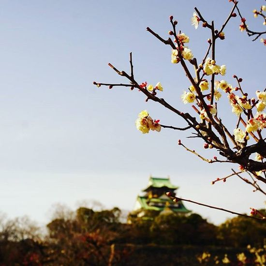 まだ五分咲き(*^^*) . Travelgram Plum Garden 梅 白梅 Earlyspring Flower Osakawalk Osakacastle 大阪城