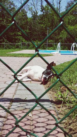 At least someone is enjoying this heat.. I Love My Dog Peekaboo Summer Vibes Happiness Relaxing Peeking EyeEm New Jersey Dog Rat Terrier Home Sweet Home