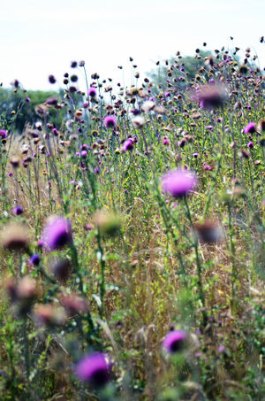 Beauty In Nature Day Field Flower Flower Head Fragility Freshness Grass Growth Heat Nature No People Outdoors Plant Purple Selective Focus Summer Thistle Thistle Flower Uncultivated