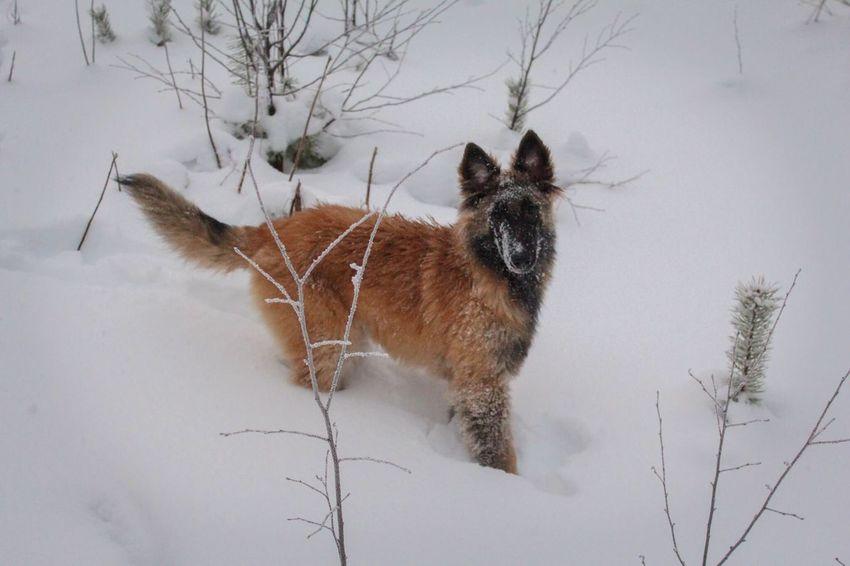 EyeEm Ready   Pets Snow Cold Temperature Nature Outdoors Lapland Belgian Shepherd Tervueren Landscape Snow ❄ Beauty In Nature The Traveler - 2018 EyeEm Awards