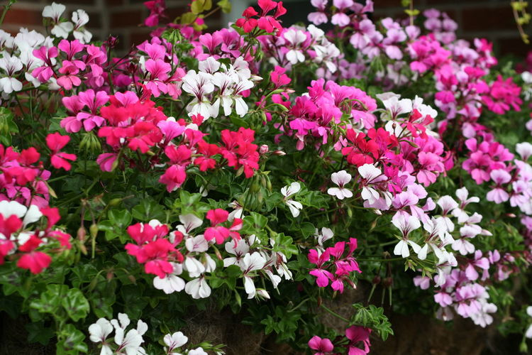 summer flowers Colourful Flowering Plant Gardener Gardening Trailing Beauty In Nature Bedding Bush Close-up Day Flower Flower Collection Flower Head Flowering Plant Freshness Garden Geranium Growth Inflorescence Ivy Nature Outdoors Pellargonium Plant Summer