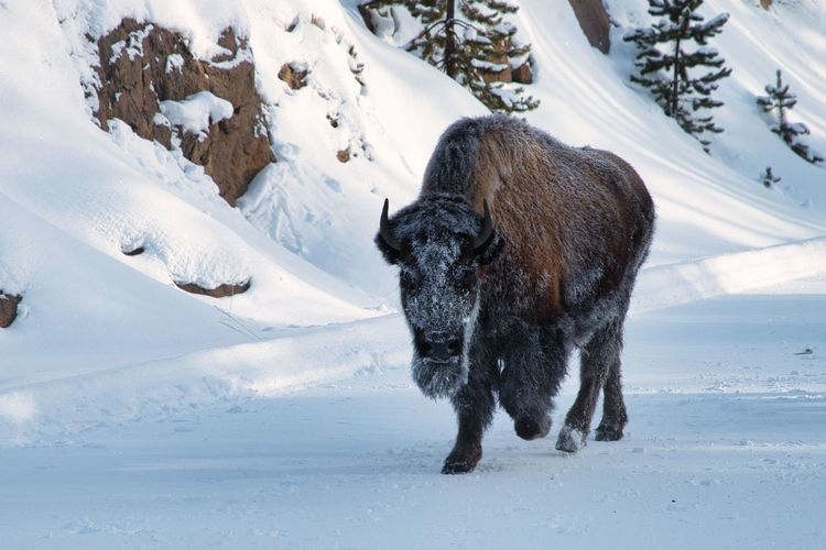 Snow faced bison in yellowstone national park.  one of many in stampede i was caught in.