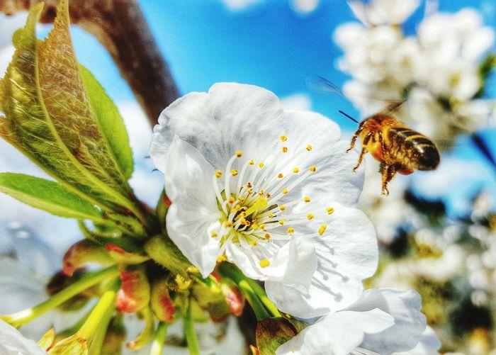 Polinizando la flor de un cerezo First Eyeem Photo