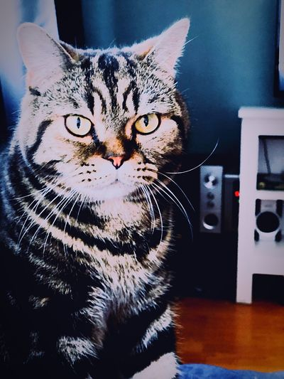 Cat Feline Domestic Cat Pets One Animal Domestic Animals Looking At Camera Portrait No People