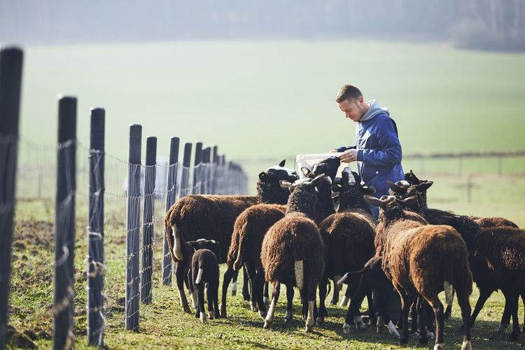 Side view of man feeding sheep on field