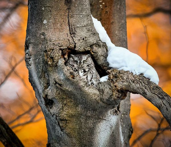 A screech owl at sunset. The sun was hitting the trees in behind creating a beautiful orange glow. Nature Owl Screech Owl Close-up Sunset Agriculture Outdoors One Man Only One Person Beauty In Nature Tree Headshot Shades Of Winter
