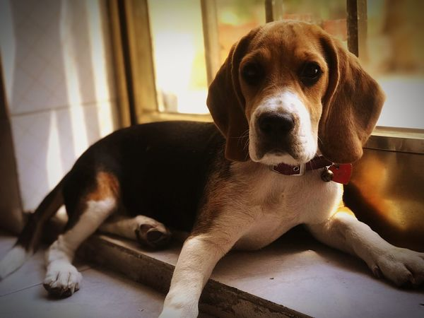 Lovebeagle Beagles  Beaglelovers Beagle Pets Dog Canine Domestic One Animal Mammal Domestic Animals Looking At Camera