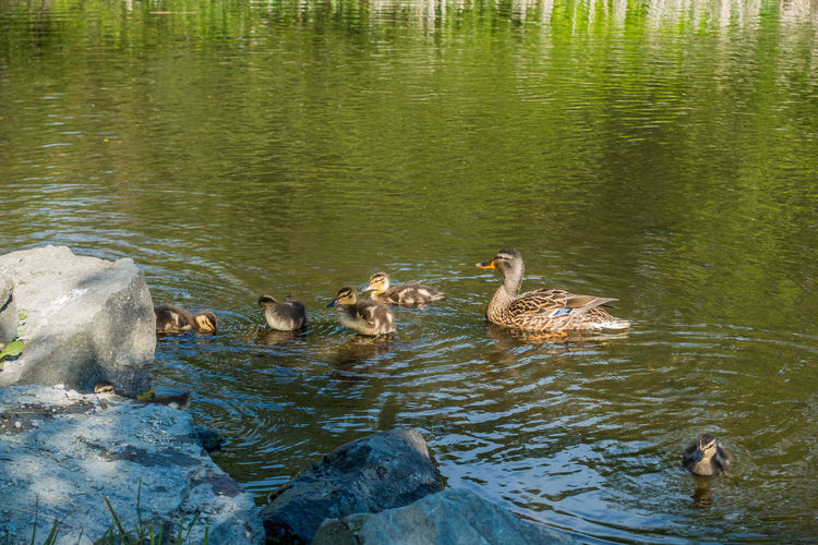 Mother duck with ducklings. Mother Duck Pond Animal Themes Animal Wildlife Animals In The Wild Bird Day Duck Duckling Lake Nature No People Outdoors Swimming Water Water Bird Waterfall Waterfront Young Animal Young Bird