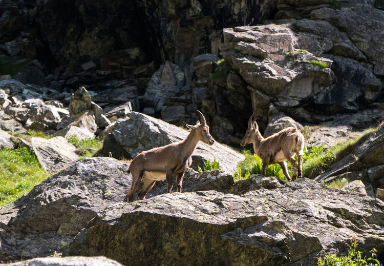 Animal Animal Family Animal Themes Animal Wildlife Animals In The Wild Day Domestic Animals Group Of Animals Herbivorous Land Mammal Nature No People Outdoors Rock Rock - Object Rock Formation Solid Two Animals Vertebrate