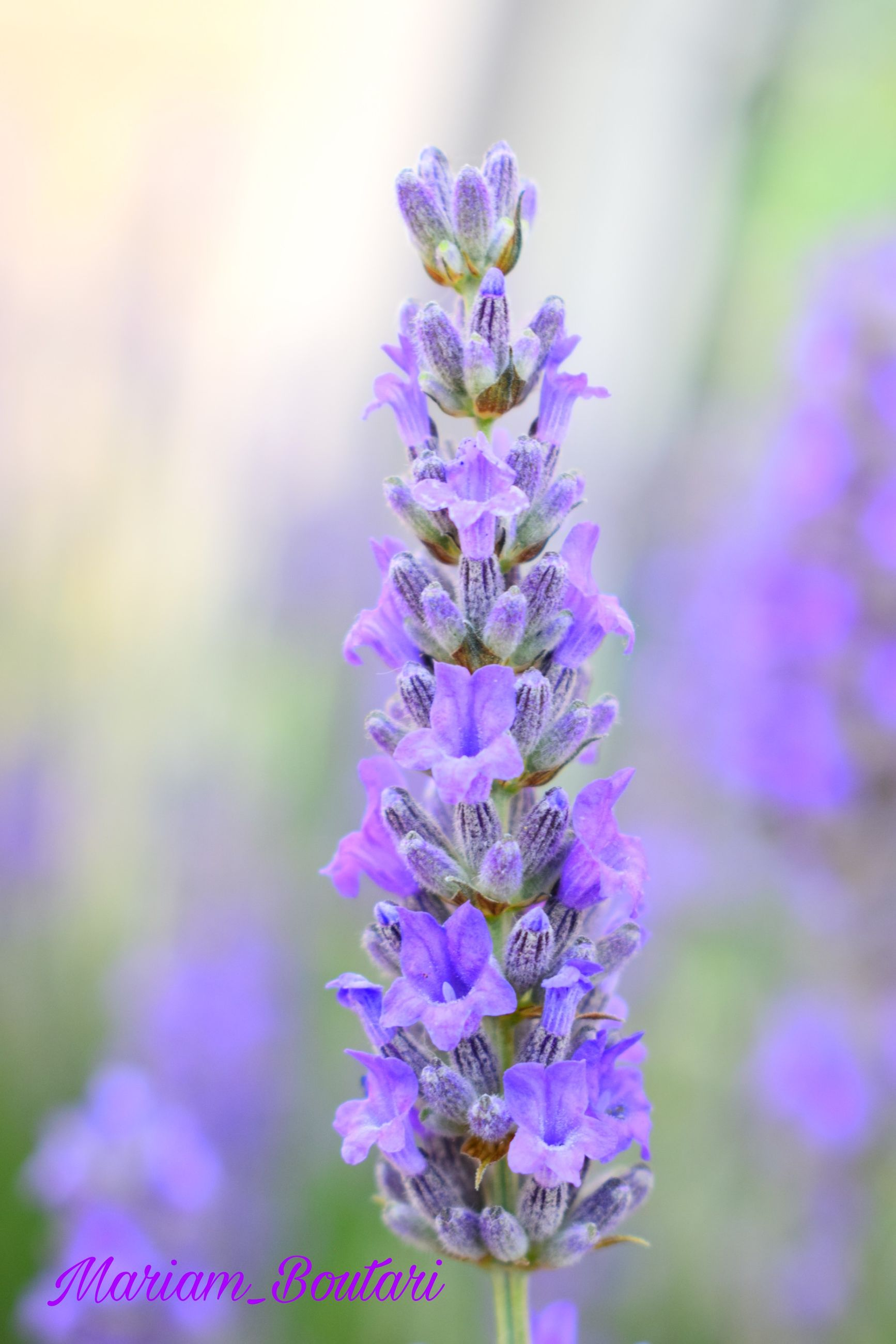 flower, flowering plant, purple, plant, vulnerability, fragility, freshness, beauty in nature, close-up, growth, focus on foreground, petal, nature, no people, day, lavender, flower head, inflorescence, outdoors, botany