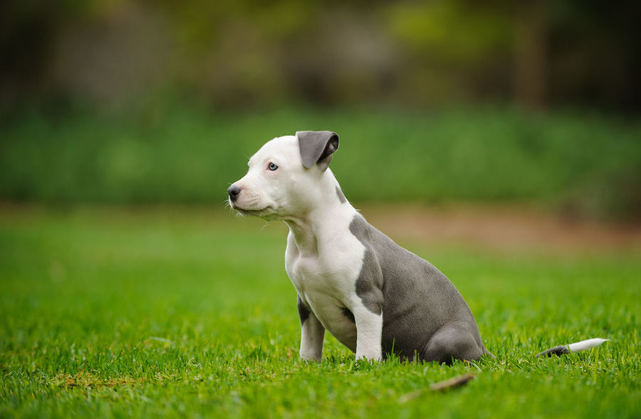American Pit Bull Terrier dog American Pit Bull Terrier Dogs Dogs Of EyeEm Pit Bull Animal Animal Themes Apbt Blue Nose Pitbull Dog Domestic Animals Focus On Foreground Grass No People One Animal Pet Pets Pitbull Puppy