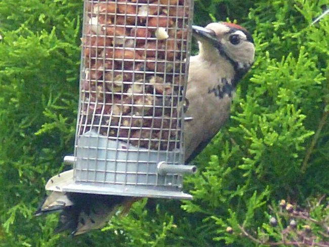 Unusual visitor to the garden ... Lesser Spotted Woodpecker Bird Animal Themes One Animal Bird Feeder Animals In The Wild Animal Wildlife No People Perching Cage Day Woodpecker Outdoors Nature Food Tree Mammal Close-up