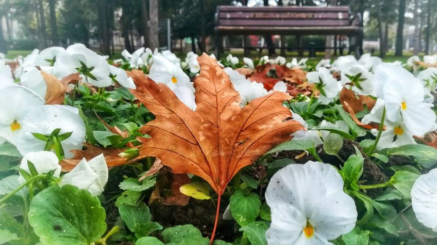 🍁🌿Autumn Day Nature Leaf Beauty In Nature Cold Temperature Flower Flower Head Freshness No People Plant Outdoors EyeEm Best Shots EyeEm Gallery Bank White Green EyeEm Nature Lover