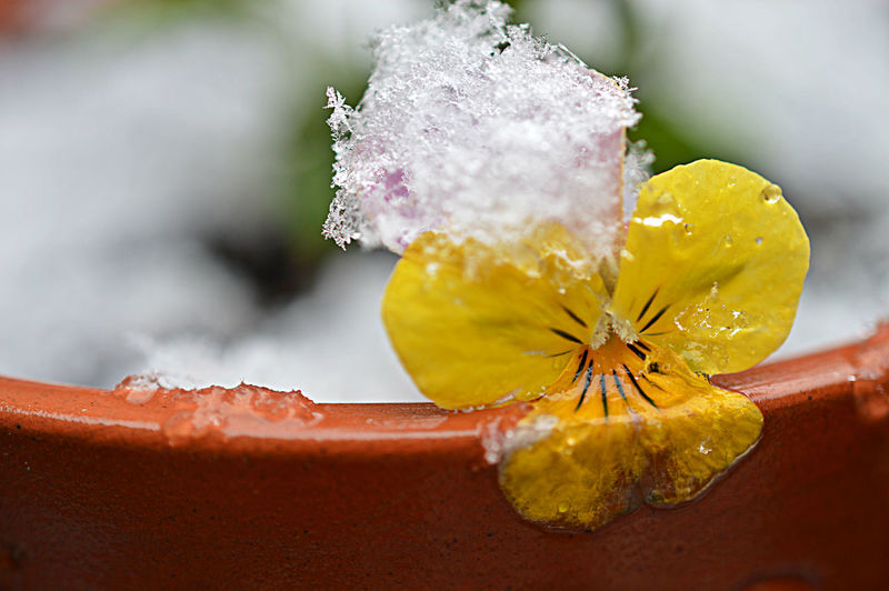 Close-Up Of Ice On Yellow Flower