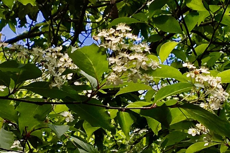 Subject : An Unknown Tree with Small White Blossoms by the Roadside to the Habitat. Taken in Higashi-Hiroshima , Japan on May 23, 2017 ( Submitted on June 20, 2017 )