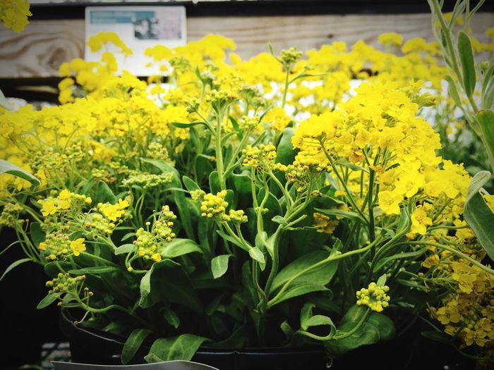Planting Flowers Planting Spring Springtime Garden Gardening Garden Store Flowers Spring Flowers Plants Plant Tray Flower Happy Cheerful Yellow Flowers Plant Colorful Floral Yellow Flower Yellow Botanical Nursery