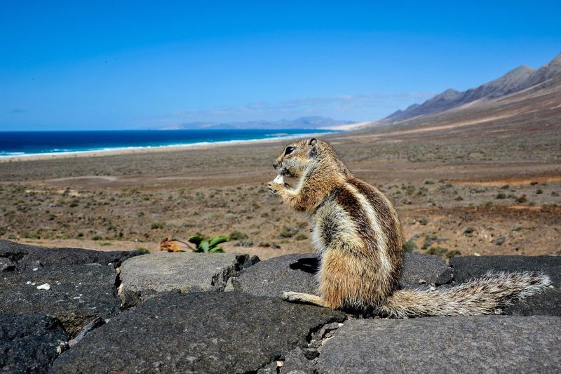 Hello my name is Cip and this is my restaurant with view! Fuerteventura Landscape Canary Islands Ocean View Squirrel View Nature Animals In The Wild Outdoors Animal Themes Wildlife Wild Small Viewpoint Close-up Animals Furry Travel Destinations Travel Traveling Wanderlust
