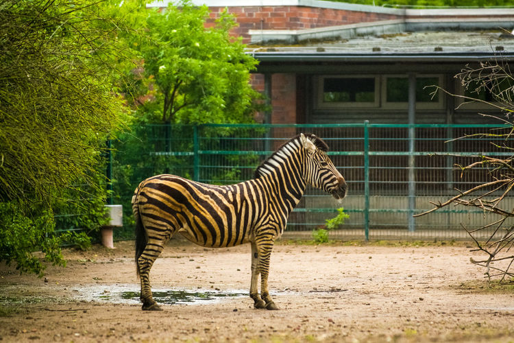 Animal Animal Themes Animal Wildlife Mammal One Animal Animals In The Wild Nature Plant Tree Striped Day Vertebrate No People Zoo Side View Outdoors Architecture Built Structure Standing Full Length Herbivorous