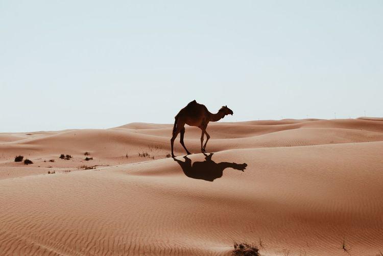 Lone camel in the desert
