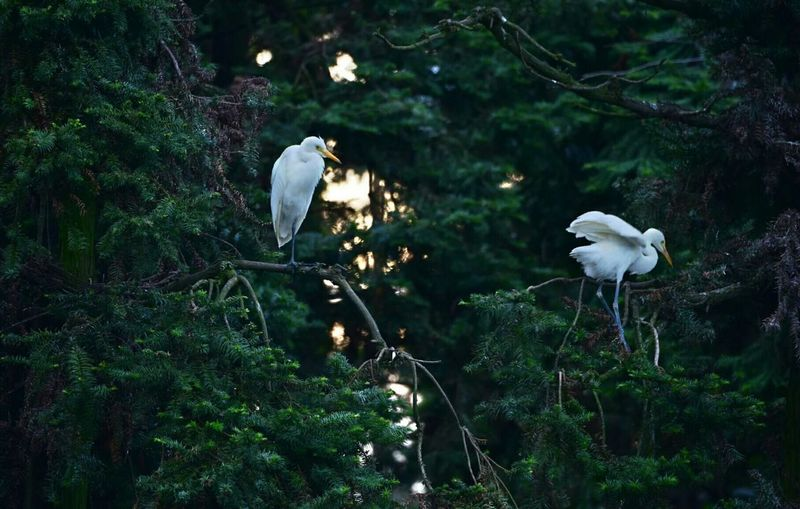 Egrets in tree in  forest