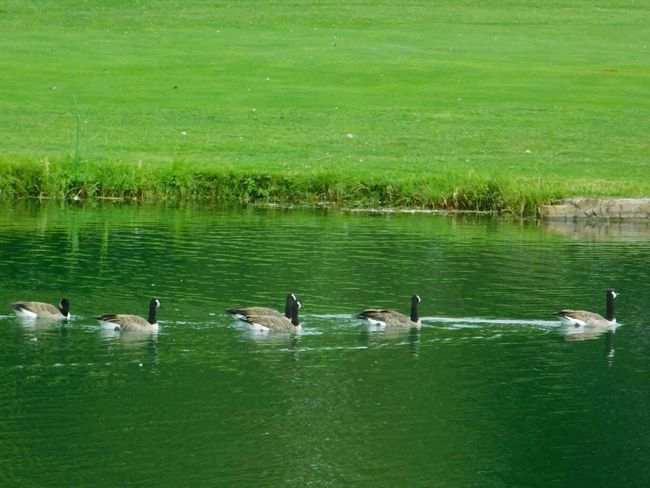 Photo prise le 09/09/2017 a Île-Perrot Animals In The Wild Bird Water Animal Wildlife Lake Animal Themes Reflection Swimming Water Bird Beauty In Nature PhotosophLav Photo♡ Mes Photos Sophlav1821 En 2017 été2017