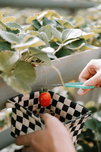 Close-up of person harvesting fruits while holding basket