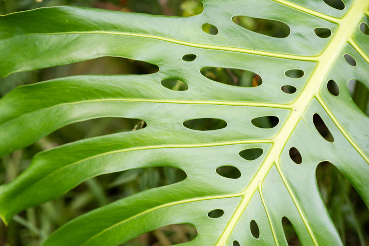 Full frame view of monstera plant leaf Beauty In Nature Close-up Day Freshness Full Frame Green Color Growth Leaf Monstera Nature No People Outdoors Plant