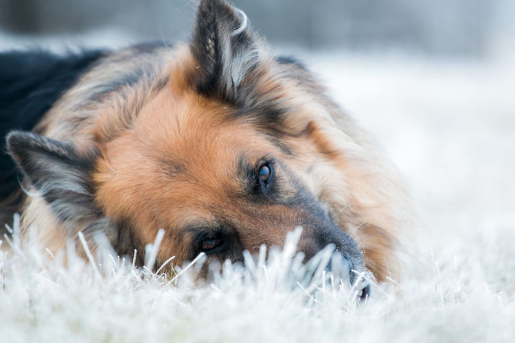 Close-Up Portrait Of Dog Lying On Snow