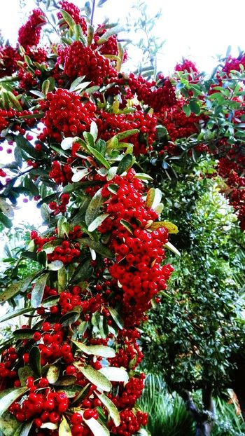 Red Tree Nature Beauty In Nature Day Branch Fruit Plant Freshness Flower